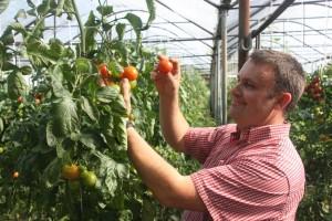Tomatenernte in der Gärtnerei Prentl