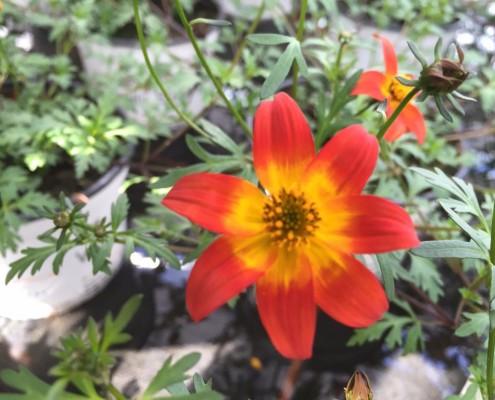"""Die Pflanze des Jahres, Bidens """"Willis Bienenparty"""""""