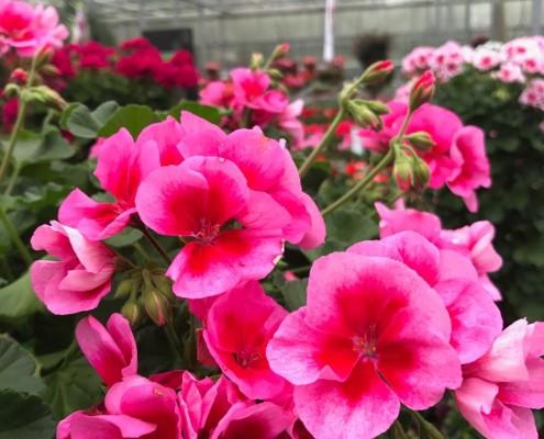 Geraniensorten mit Blütenzeichnung in kräftigen Trendfarben